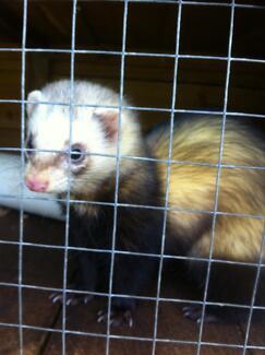 Missing Ferret wroxton st midland Midland Swan Area Preview