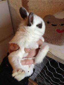 Female Hotot Rabbit