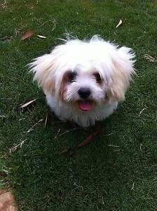 Shih-Tzu x Silky Terrier Girl Puppy For Sale Caloundra Caloundra Area Preview
