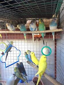 Assorted coloured young budgies for sale. Kyneton Macedon Ranges Preview