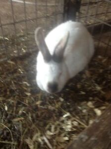 Female meat rabbit for sale