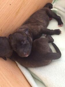 Staffy x German shepherd puppies Craigieburn Hume Area Preview