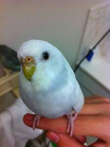 ADORABLE BUDGIES Looking for a new home! Heritage Park Logan Area Preview
