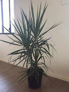 Dracaena Marginata, indoor plant Spring Farm Camden Area Preview