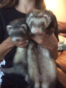 Ferrets,cage and toys