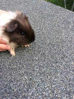 1x Baby Male Guinea Pig (so cute, and so tame)