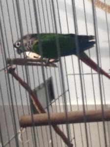 Conure for sale Arundel Gold Coast City Preview