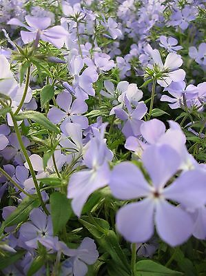 PHLOX WILD BLUE * Phlox divaricata * N. AMERICAN NATIVE WILDFLOWER * SEEDS NEW!