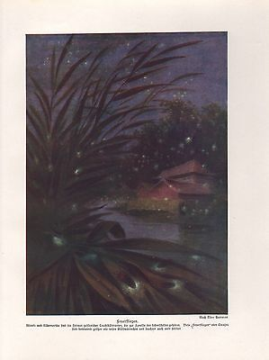 Leuchtkäfer Glühwürmchen  Farbdruck von 1912 (Leuchtkäfer, Insekt)