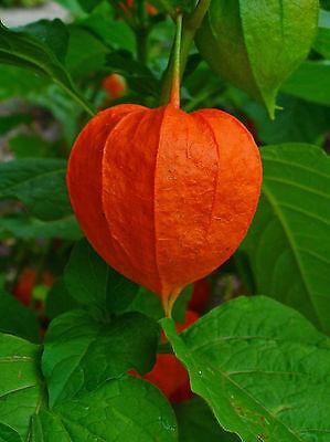 50 Samen rote Lampionblume , Blasenkirsche Physalis alkekengi