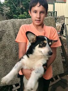 Corgi x pups need to go to good homes ASAP Minto Campbelltown Area Preview