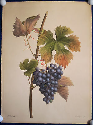 WEINTRAUBE BLAUE TRAUBE OBST grosser Kupferstich von Bessa 1900 (1808) Original!
