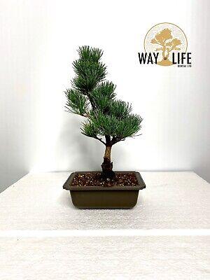 Way of Life bonsai White Pine Bonsai