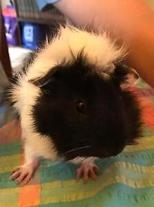 Baby Guinea Pigs for sale Ermington Parramatta Area Preview
