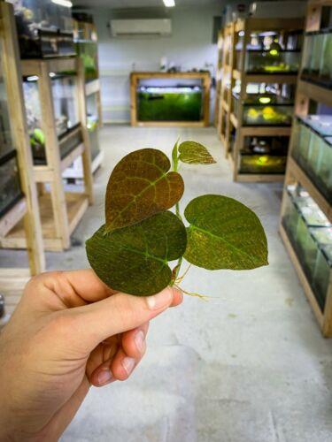 Ficus villosa (RARE)   Dart Frog Vivarium / Terrarium Plant   Live Stem Cutting