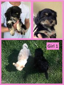 Maltese Shihtzu Puppies Dogs Puppies Gumtree Australia Stirling