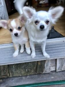 Chihuahua Puppies available now!