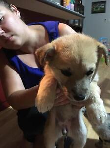 Puppies - Aussie Siberian x Whippet Baldivis Rockingham Area Preview