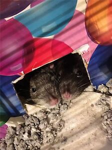 Two Female Rats To A Loving Home