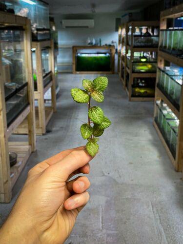 Pilea Moonlight - Dart Frog VIVARIUM / Terrarium Plant - Stem Cutting