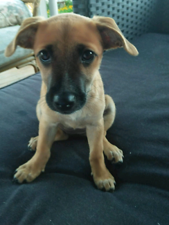 Ruth jack russell x puppy