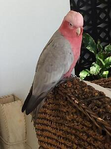 Found pink and grey galah Kensington South Perth Area Preview
