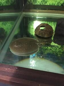 Motoro stingray and 6x2x2 tank Bolwarra Heights Maitland Area Preview