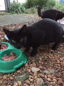 Black female cat Lismore Lismore Area Preview