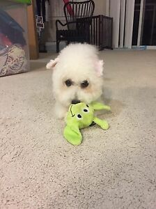 Not available for now!Small Bichon Frise for Rehoming London Ontario image 8