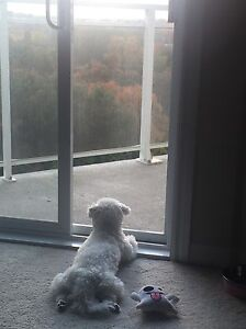Not available for now!Small Bichon Frise for Rehoming London Ontario image 5