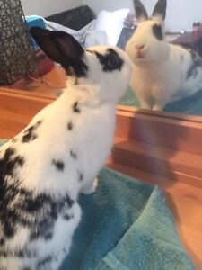 Cute Free Dwarf Bunny and Large Cage