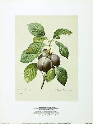"Redout? ""Prunus Domestica"" Still PRINT New SIZE:30cm x 41cm BROWSE OUR SHOP RARE"