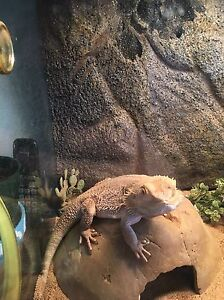Bearded Dragon with full enclosure and accessories  Kingston Kingston Area image 5