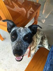 Cattle dog free to good home Elimbah Caboolture Area Preview