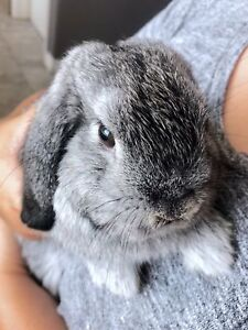 Lop ear rabbit