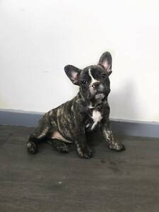 Female Brindle French Bulldog (Hungarian Bloodline)