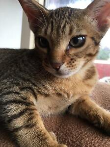 Ocicat Kitten -Male, Tawny Spotted Elizabeth North Playford Area Preview