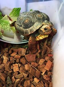 Red Foot Cherry Head Tortoise