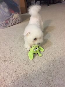 Not available for now!Small Bichon Frise for Rehoming London Ontario image 9