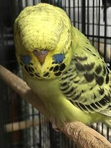Baby Male Budgies from Show Breeder Camberwell Boroondara Area Preview