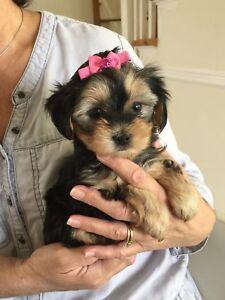 Mini Morkie femelle toy prête à être adoptée