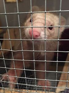 Handler with ferret experience needed