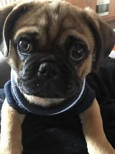 Wanting to buy pug puppy Dallas Hume Area Preview