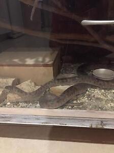 Children's python Buderim Maroochydore Area Preview