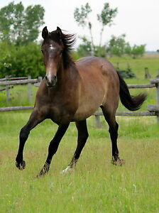 Andalusian Filly