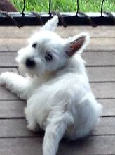 West highland terrier Beachmere Caboolture Area Preview