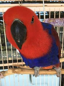 ECLECTUS  PARROT Female 'BELLA' Lakes Entrance East Gippsland Preview