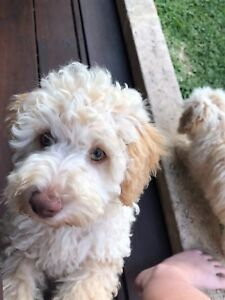 Beautiful Schnoodle Pups - 1 Male left