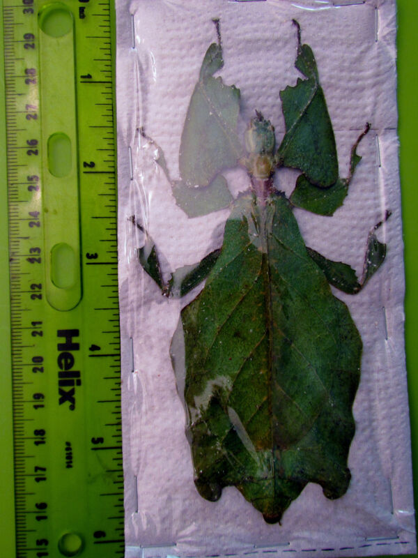 """Largest Leaf Mimic Phyllium giganteum Female 105mm 4 1/8"""" Insect FAST FROM USA"""