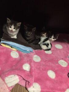 Kittens for Christmas